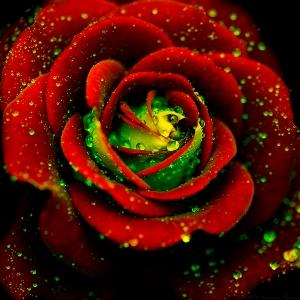 Rose-flowers-21391136-600-600